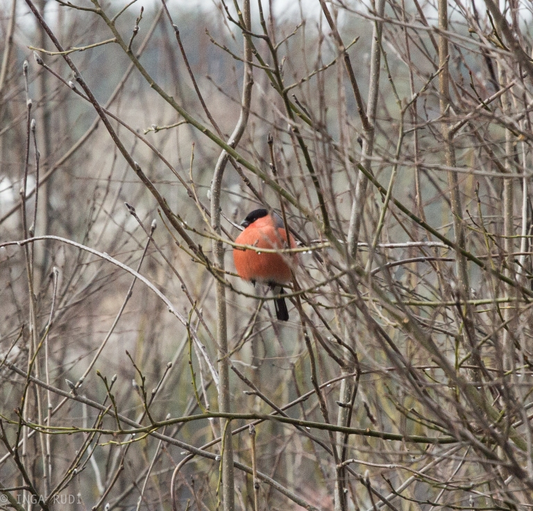 bullfinch in the tree2