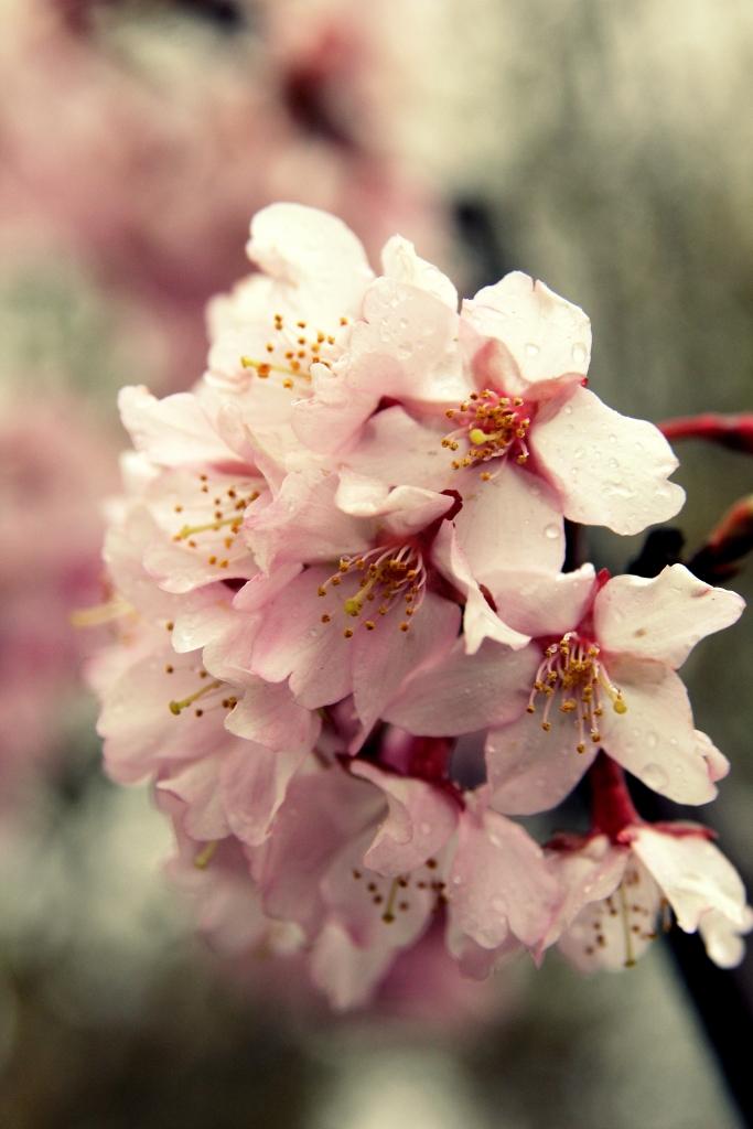cherry blossoms in the rain2