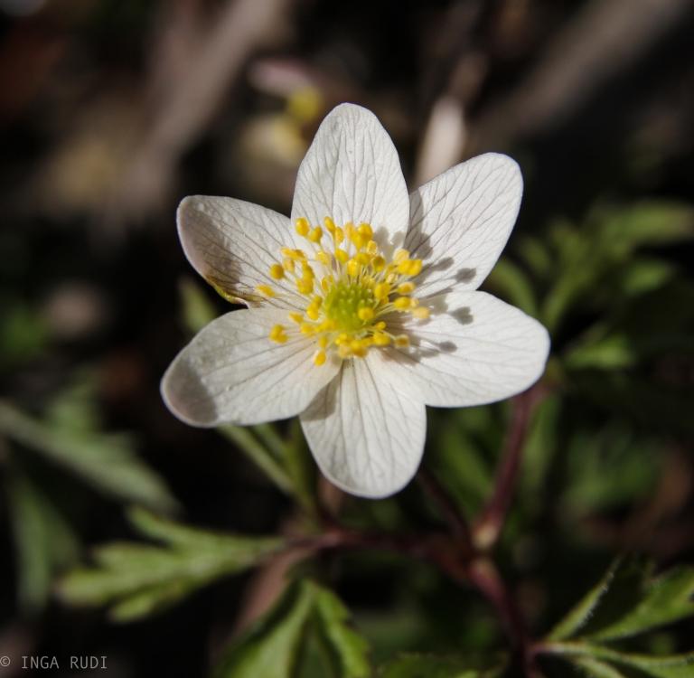 first wood anemone shot 2015