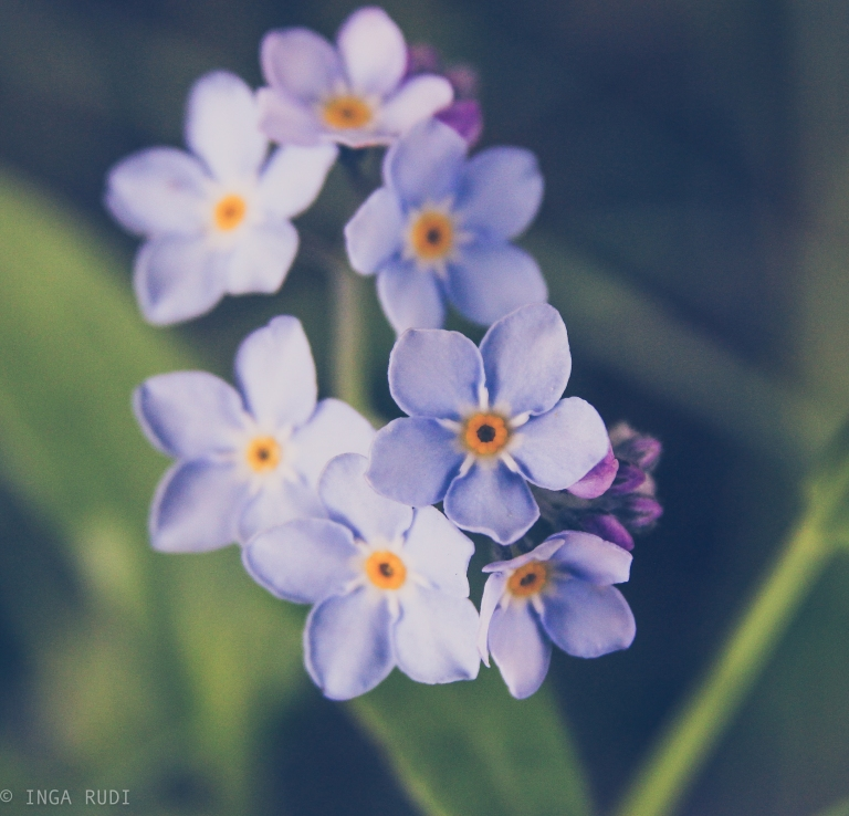 forget-me-nots 1
