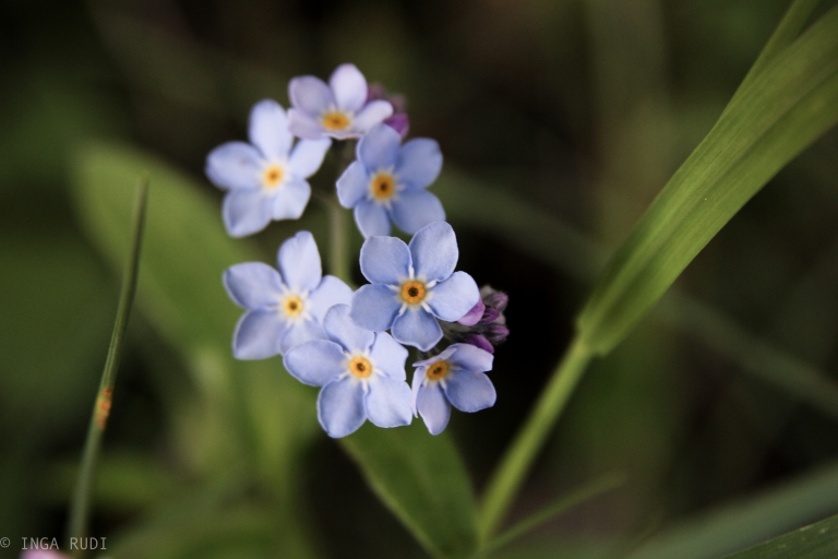 forget-me-nots 2