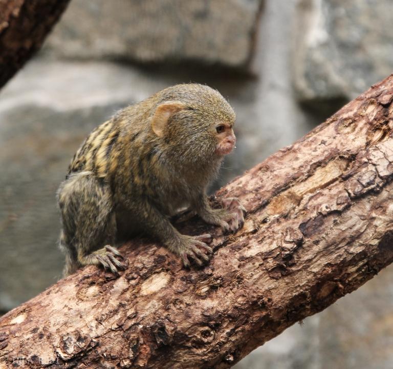 pugmy marmoset