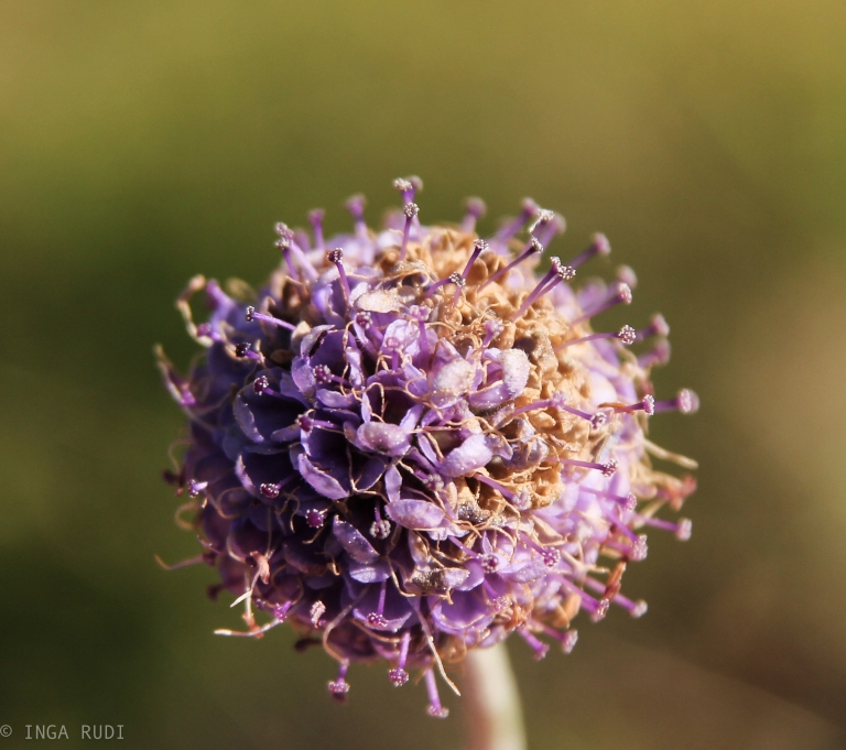 autumn devil's bit scabious